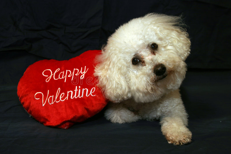 1 βαλεντίνος σκυλιών στοκ φωτογραφία με δικαίωμα ελεύθερης χρήσης