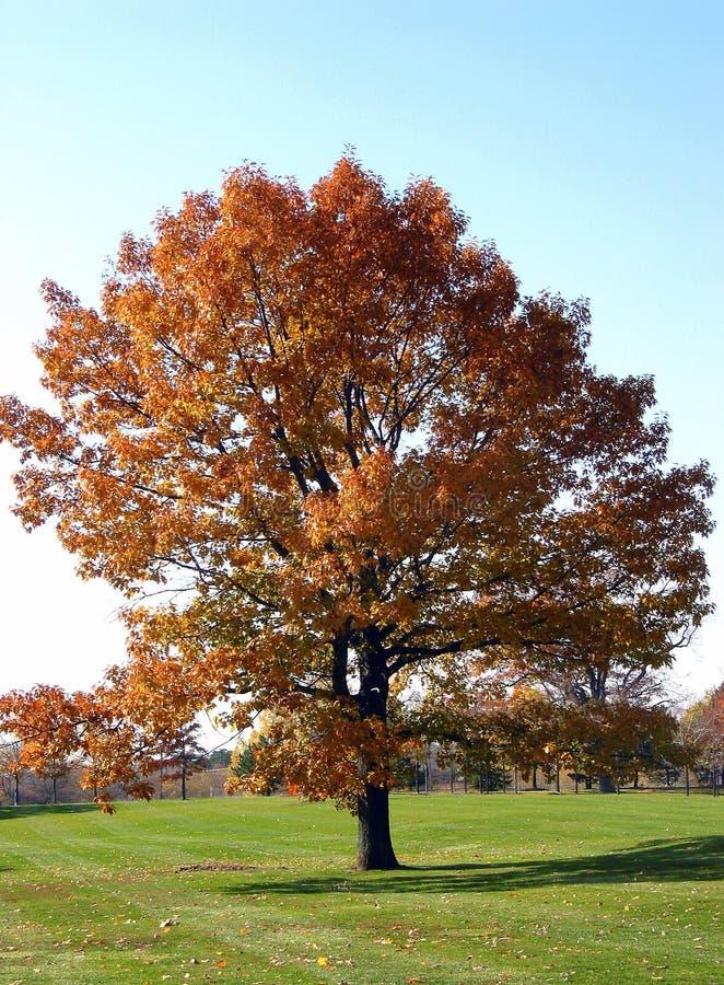 1 δέντρο φθινοπώρου στοκ φωτογραφίες