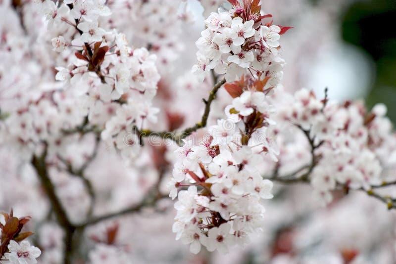 Download 1 κεράσι ανθών στοκ εικόνες. εικόνα από άνθος, floral, δενδροκηποκομία - 119580