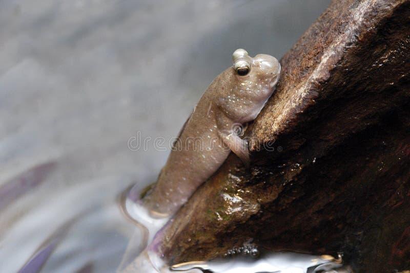 1 κούτσουρο mudskipper στοκ εικόνες