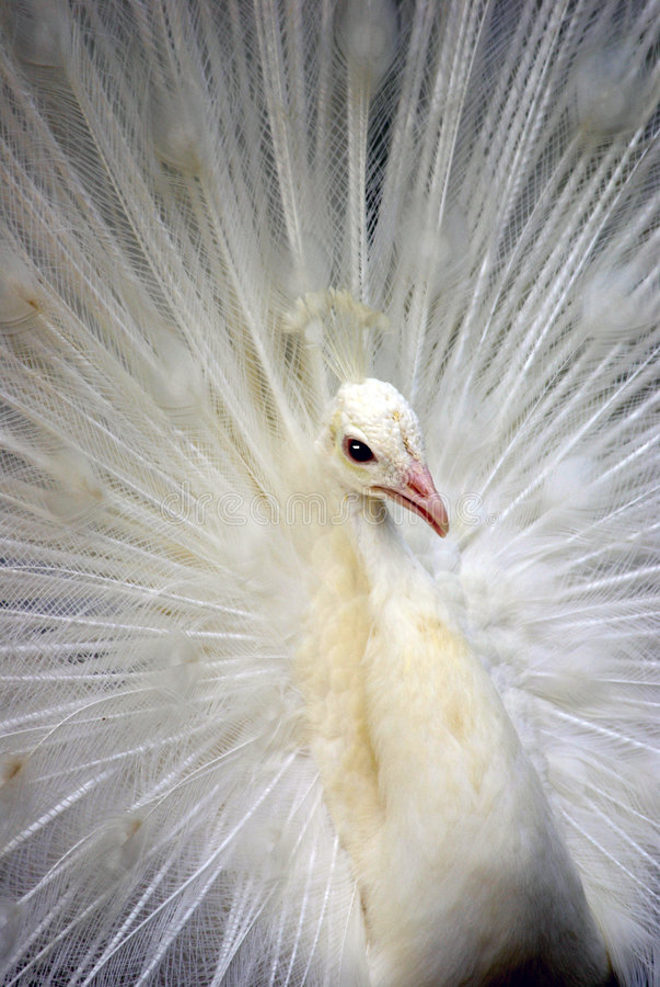 1 λευκό peacock στοκ φωτογραφία με δικαίωμα ελεύθερης χρήσης