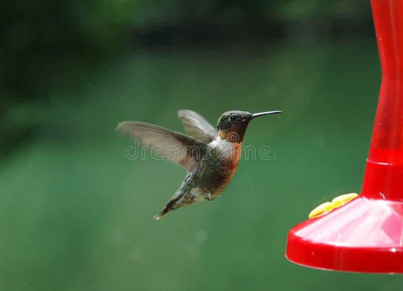 1 να βουίσει πουλιών στοκ φωτογραφίες
