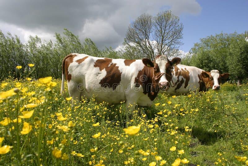 Download 1 ολλανδικό τοπίο αγελάδων στοκ εικόνα. εικόνα από τοπίο - 124767