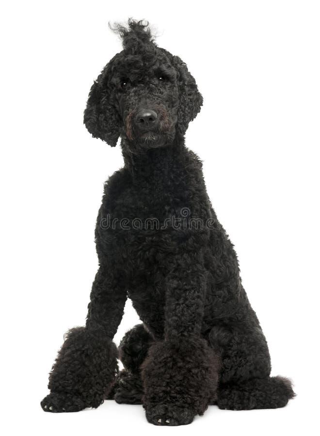 1 παλαιό poodle βασιλικό έτος σ&upsilo στοκ φωτογραφία με δικαίωμα ελεύθερης χρήσης