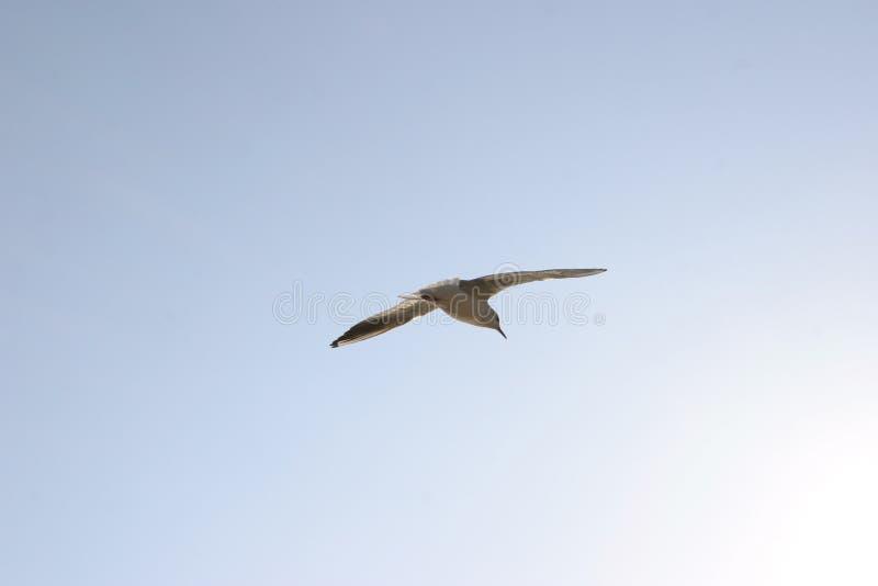 Download 1 πετώντας γλάρος στοκ εικόνα. εικόνα από seagull, ουρανός - 61337