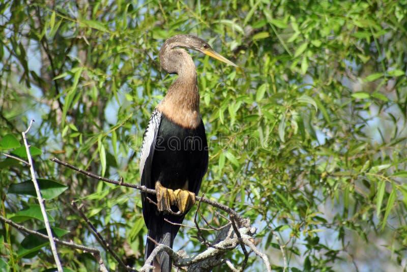 1 πουλί everglades στοκ φωτογραφία