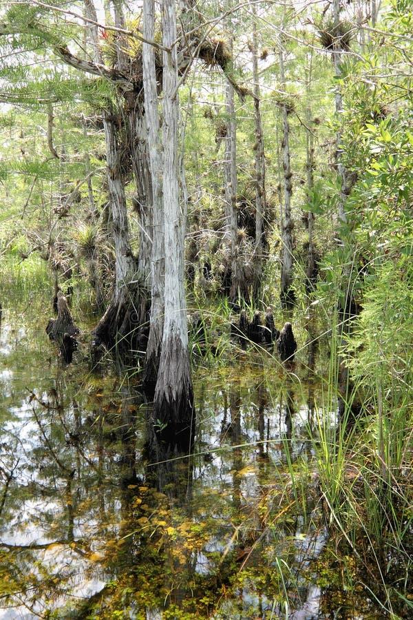 1 τοπίο κυπαρισσιών everglades στοκ εικόνα