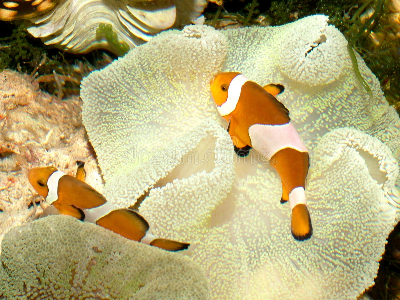 1 ψάρι κλόουν στοκ εικόνα
