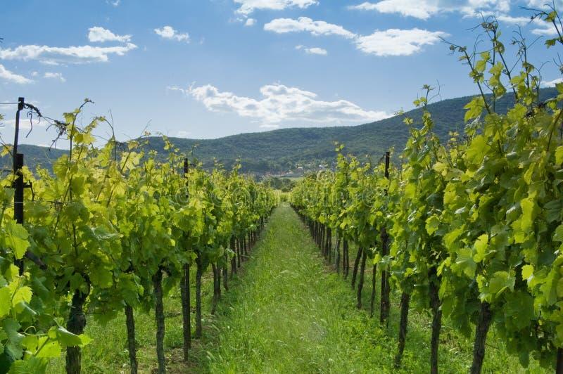 1 виноградник стоковое изображение