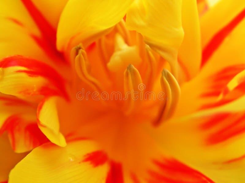 1 внутренний тюльпан стоковое фото rf