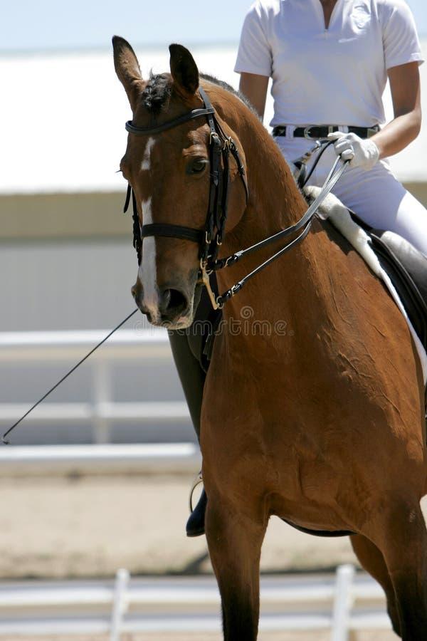 1 всадник equestrian dressage стоковая фотография rf