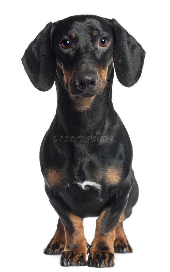 1 год dachshund старый стоящий стоковые фотографии rf