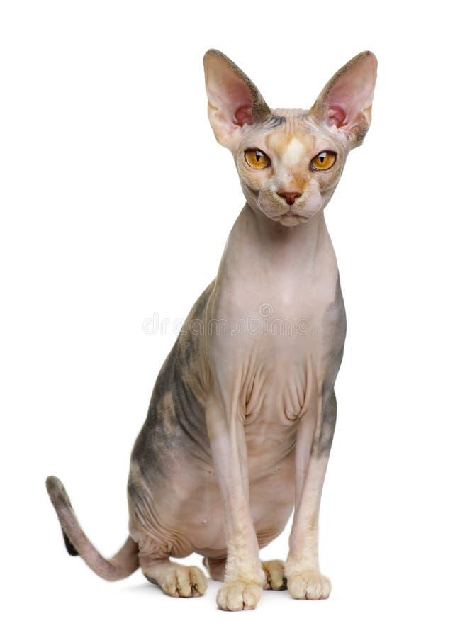 1 год sphynx кота старый стоковое изображение rf