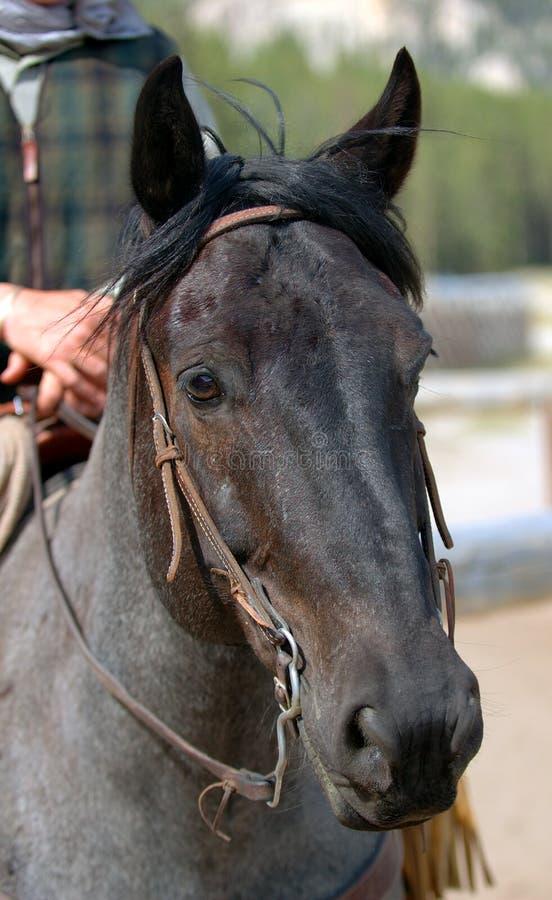 1 голубой roan лошади стоковая фотография