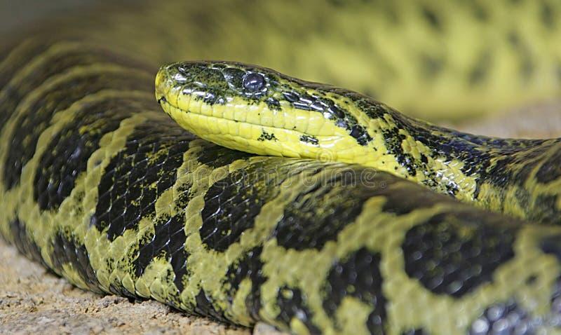 1 желтый цвет anaconda стоковая фотография rf