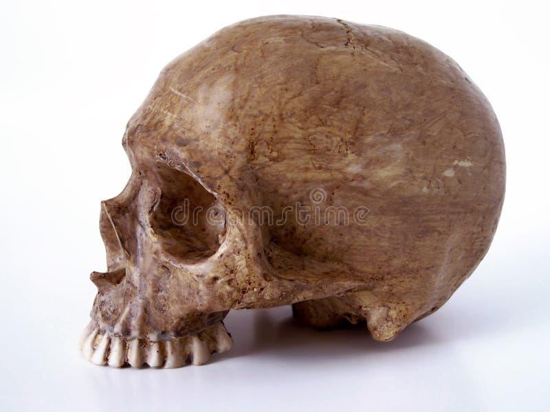 1 косточки включенный челюсти череп путя вне Стоковые Фотографии RF