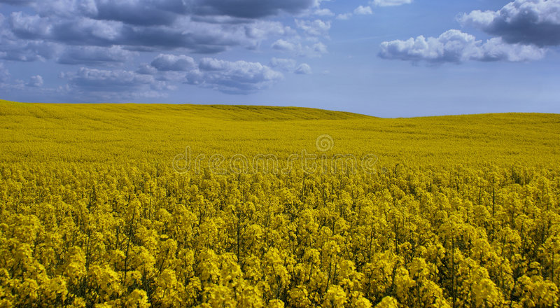 1 ландшафт canola стоковые фото