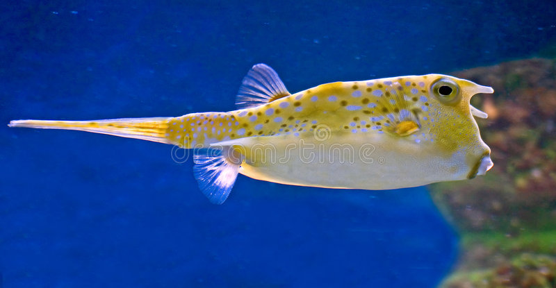 1 лонгхорн cowfish стоковое изображение