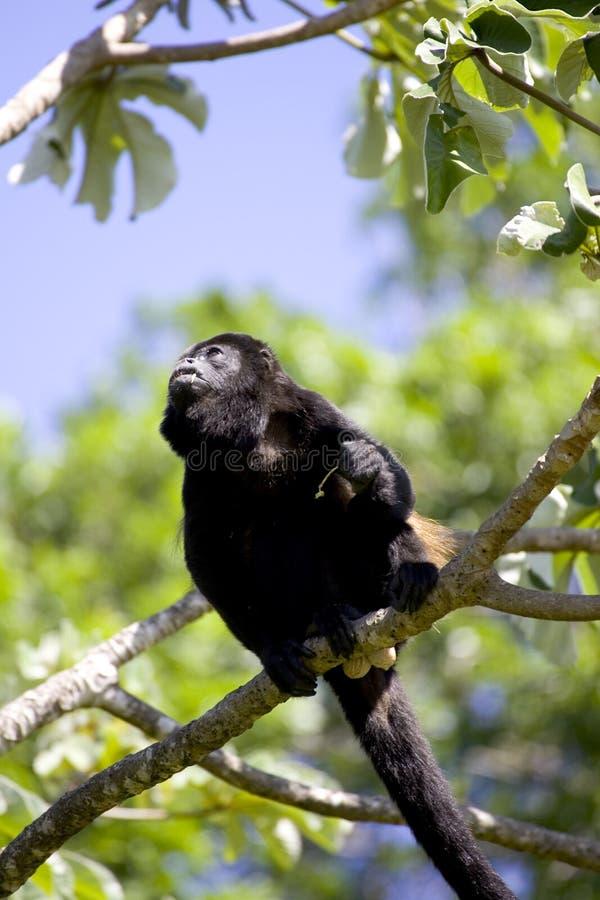 1 обезьяна стоковое изображение rf