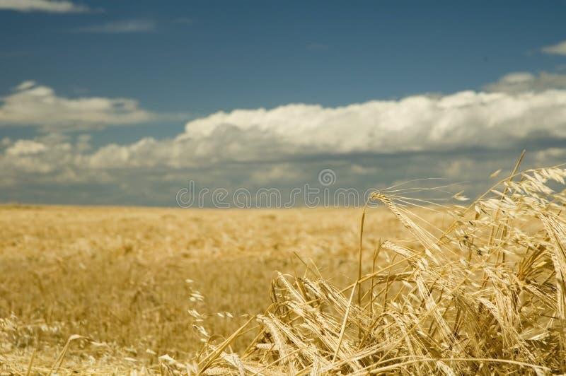 1 пшеница времени хлебоуборки стоковая фотография rf