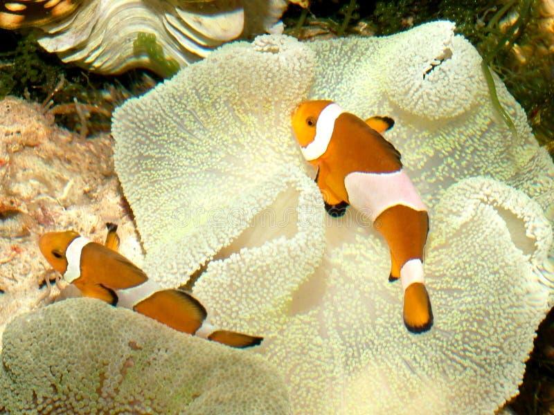 1 рыба клоуна стоковое изображение