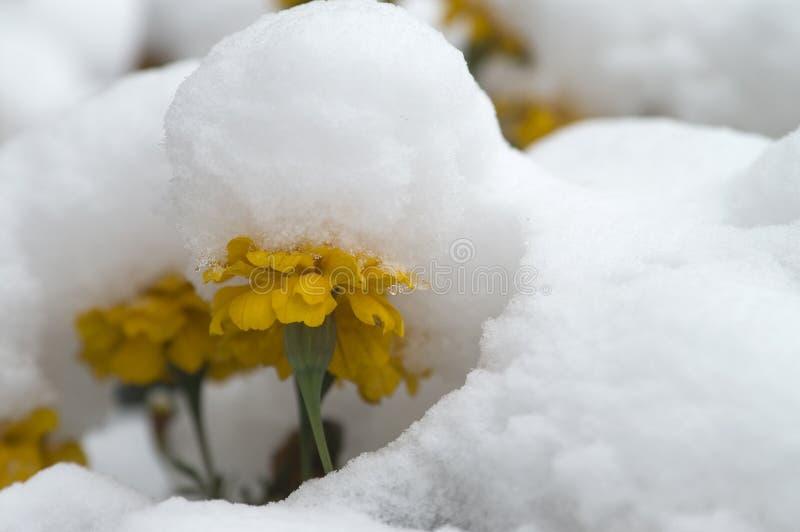 1 снежок ноготк вниз стоковая фотография rf
