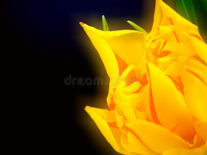 1 тюльпан стоковое изображение