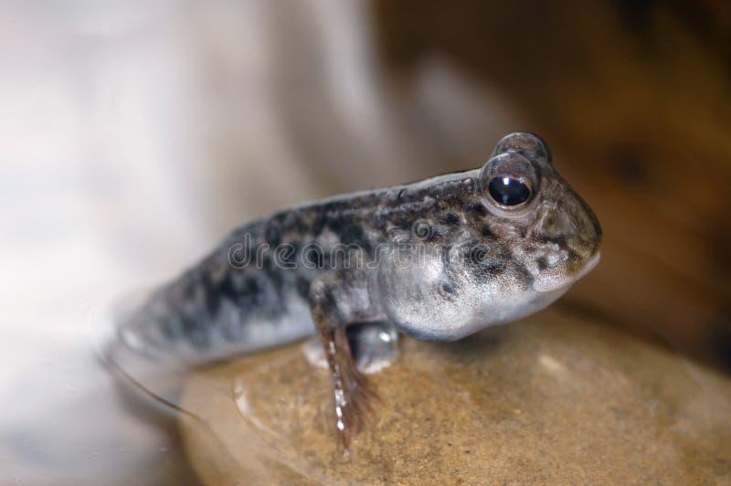 1 утес mudskipper стоковое изображение