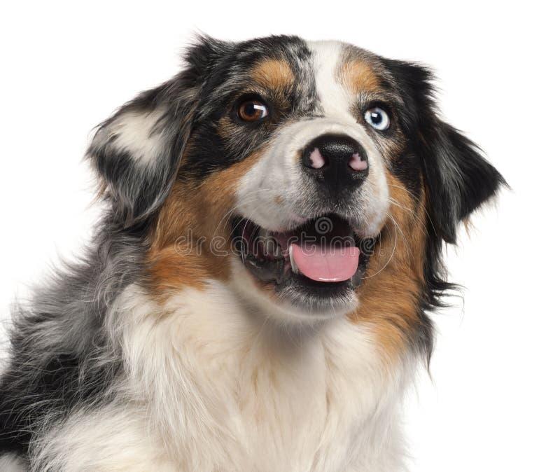 1 чабан близкой собаки австралийца старый вверх по году стоковые изображения