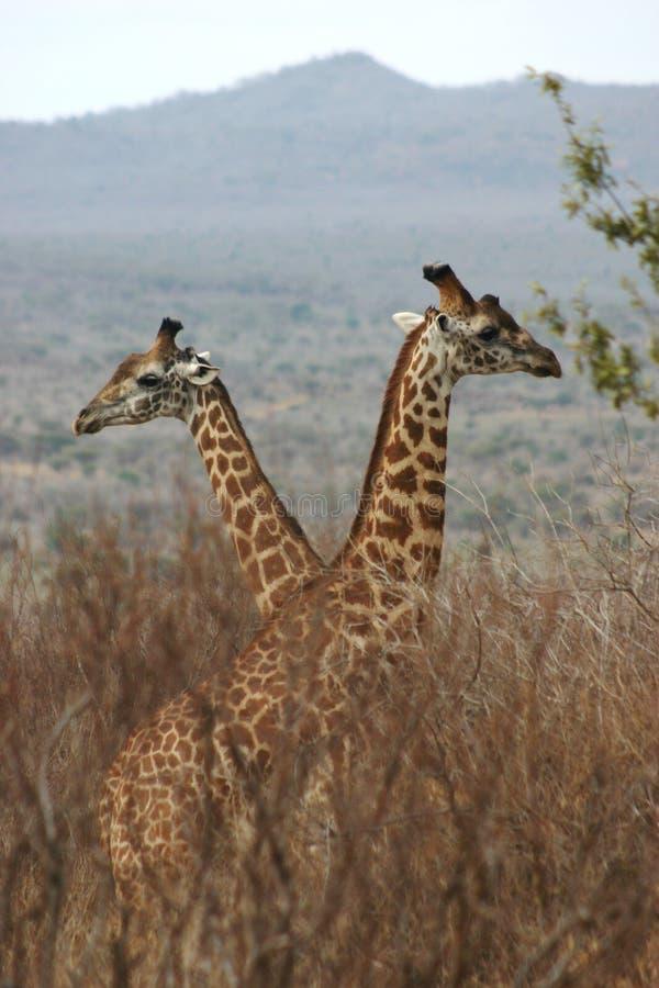 1 04个男孩长颈鹿 免版税库存照片