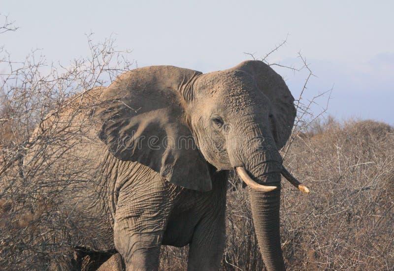 Download 1 04 elli tsavo 库存图片. 图片 包括有 公司, mara, 闹事, 肯尼亚, 大象, 徒步旅行队 - 60773
