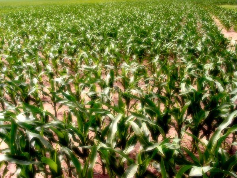 1个玉米伊利诺伊 库存图片