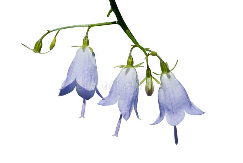 (1) adenophora kwitnie tricuspidata zdjęcie royalty free