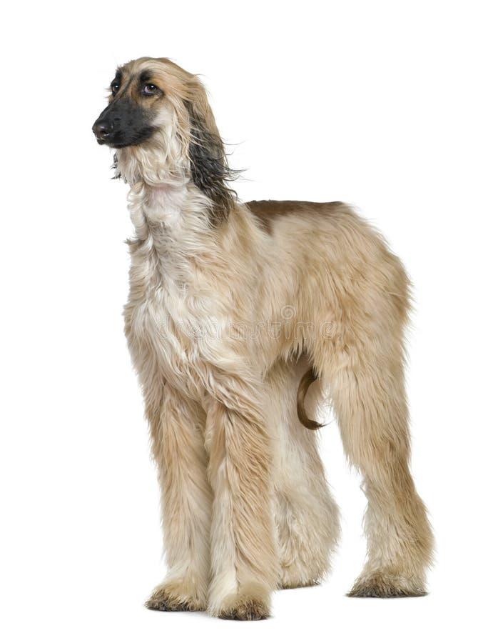 1 afghan hår hans gammala windår för hund royaltyfri foto