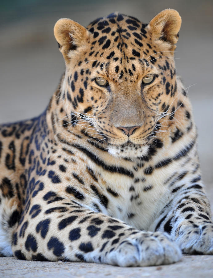 1 amur leopard arkivfoto