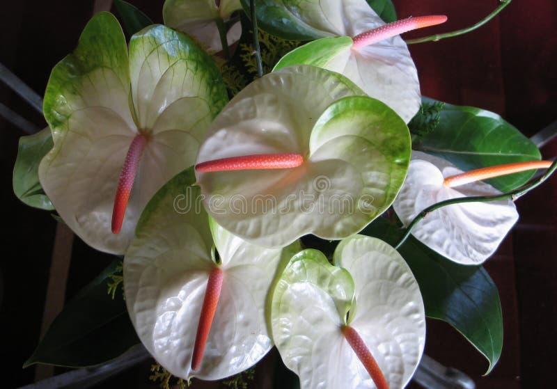 1 anthurium λουλούδια στοκ φωτογραφία με δικαίωμα ελεύθερης χρήσης