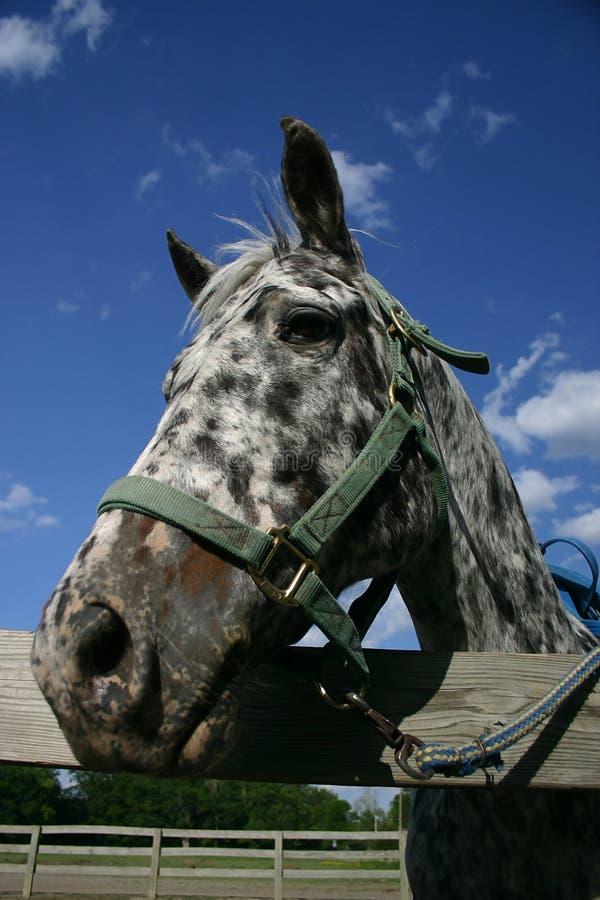 Download 1 appaloosa konia obraz stock. Obraz złożonej z paśnik - 140571