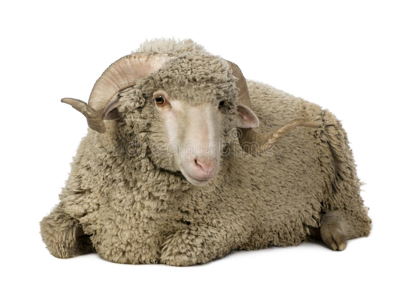 1 arles美利奴绵羊的老公羊绵羊年 图库摄影