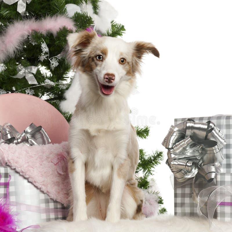 (1) australijczyka miniaturowy stary szczeniaka bacy rok obraz stock