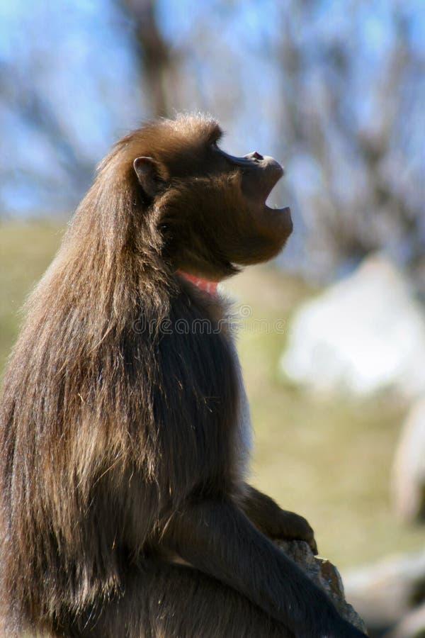 1 baboon στοκ φωτογραφία με δικαίωμα ελεύθερης χρήσης
