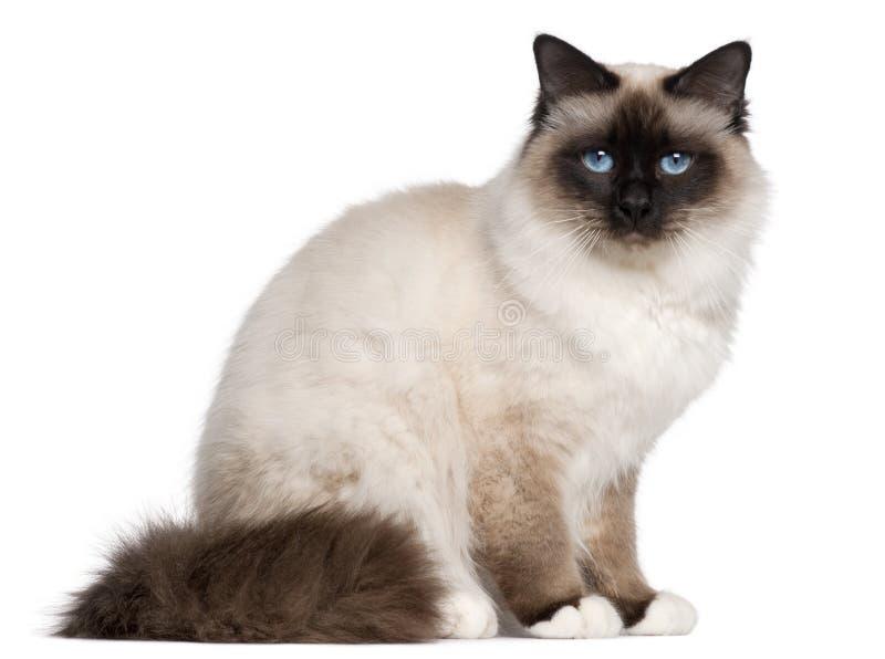 (1) birman kota stary siedzący rok obraz royalty free