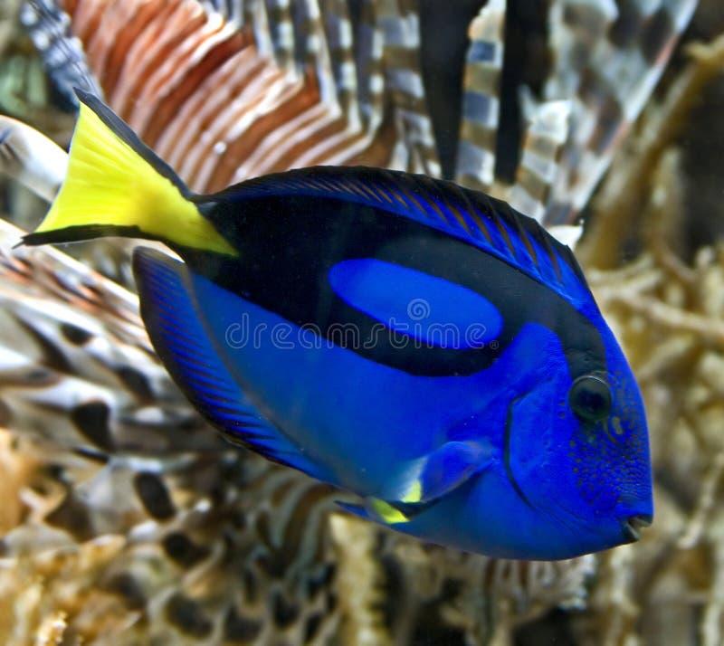 1 blåa tang royaltyfri foto