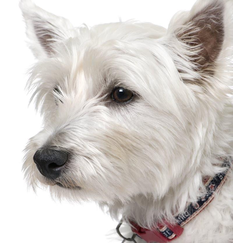 1 an blanc occidental de vieux chien terrier des montagnes de verticale photographie stock