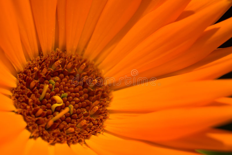 1 blommaorange arkivfoton