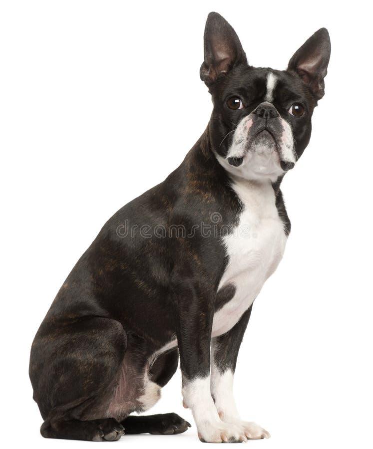 1 boston gammala sittande terrierår royaltyfri bild