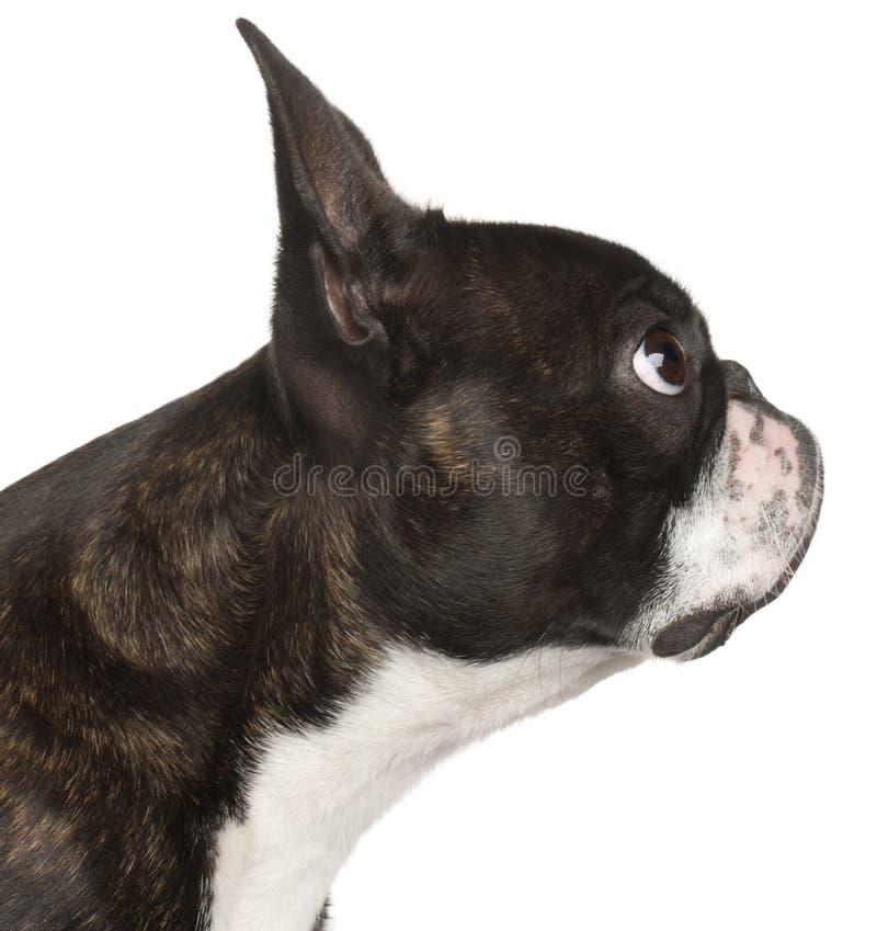 1 boston täta gammala terrier upp år royaltyfria foton