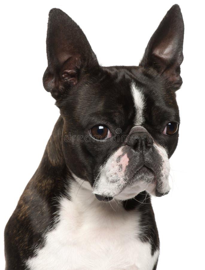 1 boston täta gammala terrier upp år fotografering för bildbyråer