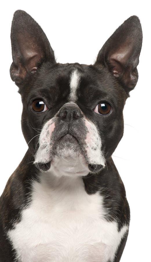 1 boston täta gammala terrier upp år royaltyfri foto