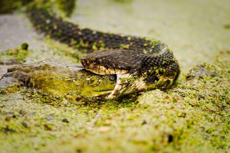 1 bullfrog есть moccasin стоковое изображение