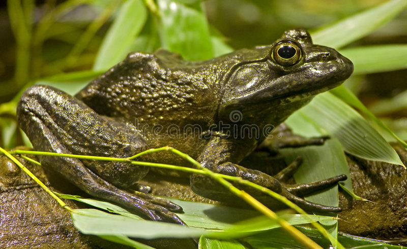 (1) bullfrog zdjęcia stock